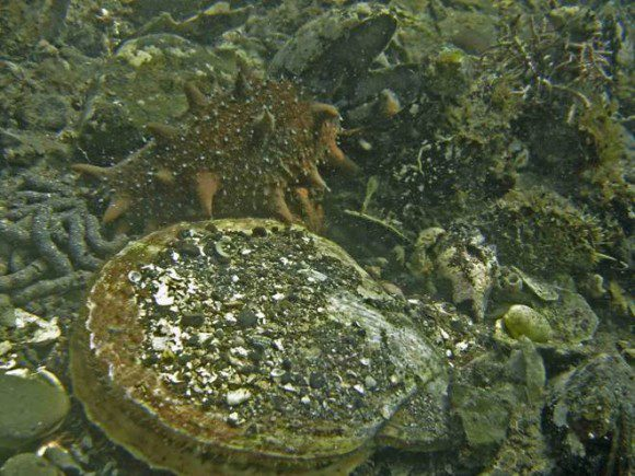 Морской гребешок и трепанг – главные объекты культивирования на Дальнем Востоке