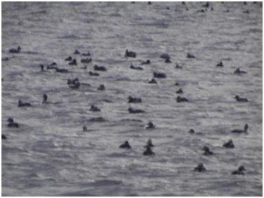 Морские утки-морянки, прилетающие на зимовку в Южное Приморье с арктического побережья.