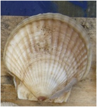 Особенно отчетливо годовое кольцо  видно на нижней створке отсаженного гребешка, изъятого на поверхность