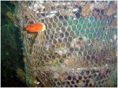 Обрастание садка, оставленного на 2 года, асцидиями стиелой булавовидной и халоцинтией пурпурной. Внизу снимка виден осевший из планктона черный морской еж.