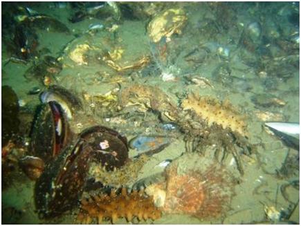 Оторвавшиеся от рамы установки раковины японского гребешка, устрицы и мидии уплотняют илистое дно, создавая хорошую среду для обитания трепанга