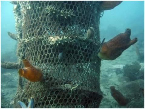 Искусственный риф из старых гребешковых садков на илистом грунте