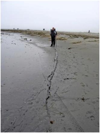 Вот такой длины достигают слоевища ламинарии японской на о. Кунашир за 1,5  года роста.